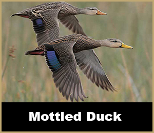 Duck Hunt - SouthFloridaFishingandHunting.com