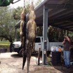 Alligator Hunt - SouthFloridaFishingandHunting.com